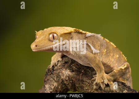 Crested gecko (Correlophus ciliates), a species of gecko native to southern New Caledonia - Stock Photo