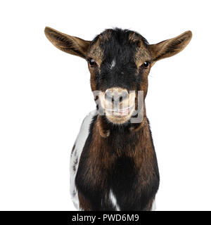 Head shot of funny white, brown and black spotted pygmy goat front view, looking straight at camera isolated on white background. Mouth a little open - Stock Photo