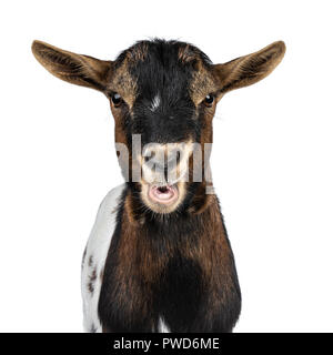 Head shot of funny chewing white, brown and black spotted pygmy goat front view, looking straight at camera isolated on white background - Stock Photo