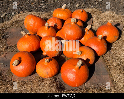 Bright orange Uchiki Kuri pumpkins, also known as Winter / Onion / Hokkaido / Potimarron / Japanese / Orange Hokkaido / Red Kuri squash,UK. Test1a - Stock Photo
