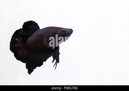 black betta half moon fish - Stock Photo