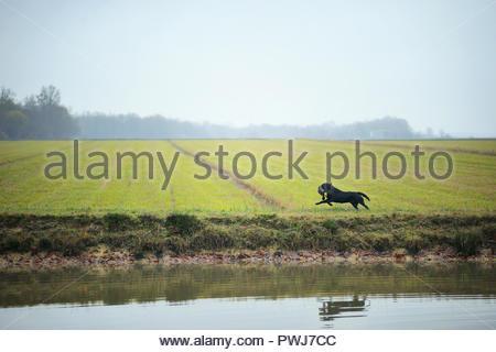 Black Labrador Retriever is retrieving a duck near a lake in the countryside - Stock Photo