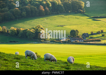 Sheep grazing in South Downs National Park, West Sussex. - Stock Photo