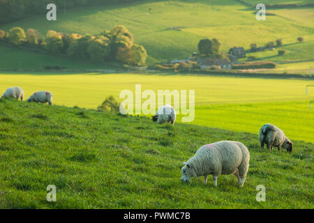 Sheep grazing in South Downs National Park, West Sussex, England. - Stock Photo