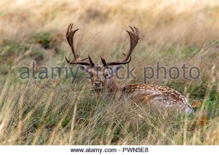 A fallow deer buck lying in long grass in the autumn sun. - Stock Photo