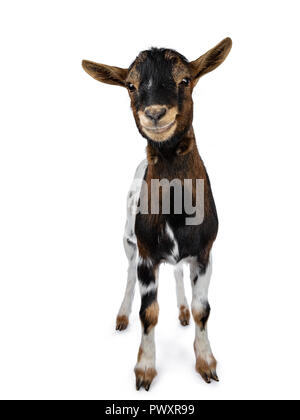 Funny smiling white, brown and black spotted pygmy goat standing front view looking curious to camera with tilted head, isolated on white background - Stock Photo