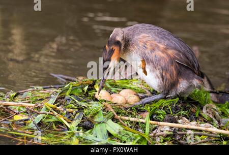 Great Crested Grebe (Podiceps cristatus) turning it's eggs on the nest on River Thames Buckinghamshire UK - Stock Photo