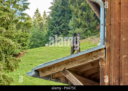 curious little dog on the roof of a woodhouse in the mountains - Stock Photo