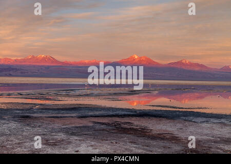 Flamingos in the Chaxa lagoon at sunset (Phoenicopterus) - Stock Photo