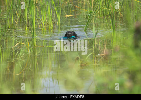 A black Labrador Retriever is swimmin during the 2018 IWT held in Italy - Stock Photo
