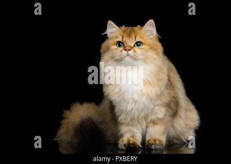 British Cat Red color with Furry hair Sitting and Looking up on Isolated Black Background - Stock Photo