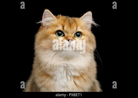 Portrait of British Cat Red color with Green eyes dreamily looks up on Isolated Black Background - Stock Photo