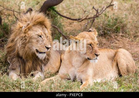 Lions in the Serengeti National Park, Tanzania - Stock Photo