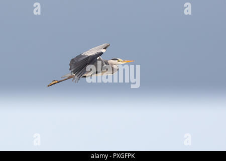 Landscape close up of single grey heron (Ardea cinerea) in flight, against clear, gradiated blue sky background, ascending high into the sky, wings up. - Stock Photo