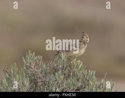 Crested lark, Galerida cristata, perched on bush in saltmarsh in spring, Portugal. - Stock Photo