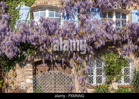 Large wisteria growing on the front of an old stone house in France - Stock Photo