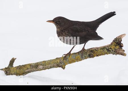 Amsel, Weibchen, Winter, Schnee, Schwarzdrossel, Drossel, Turdus merula, blackbird, female, snow, Merle noir - Stock Photo