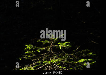 Small Norway spruce isolated on black background. - Stock Photo