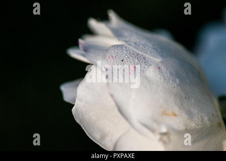 A close up dew drops on the petals of a rose 'Climbing Iceberg' - Stock Photo