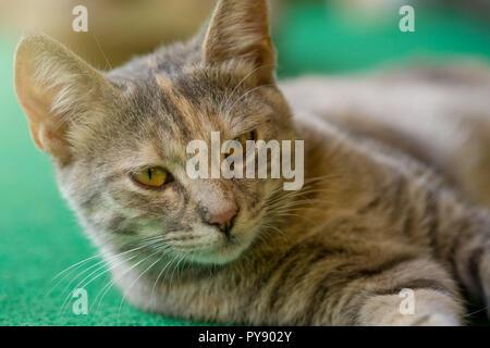 Close up gray orange cat lay on green carpet. - Stock Photo