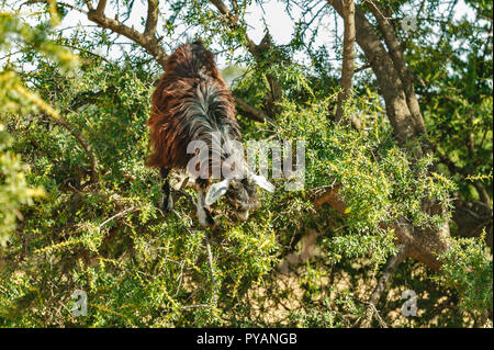 MOROCCO SOUS VALLEY ARGAN TREE  ARGANIA SPINOSA YOUNG GOAT IN THE TREE FEEDING ON THE LEAVES - Stock Photo