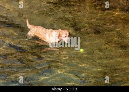 Dog of breed Labrador Retriever. Foreground. Short and light hair. Playing in the water (sea) with ball on sunny day. - Stock Photo