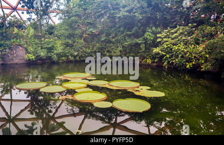 Large leaves of Victoria amazonica floating in small pond. It is a flowering plant, the largest of the Nymphaeaceae family of water lilies. - Stock Photo