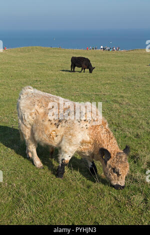 cattle grazing on Oberland (upper land), Heligoland, Schleswig-Holstein, Germany - Stock Photo