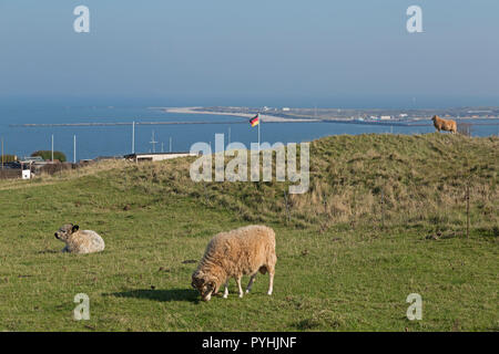 cattle grazing on Oberland (upper land), in the background the Duene (dune), Heligoland, Schleswig-Holstein, Germany - Stock Photo
