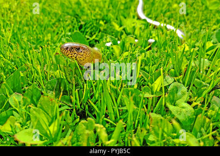 A slow worm crawling in green grass. Anguis fragilis on a grassy garden. Protected animals in the Czech Republic. - Stock Photo