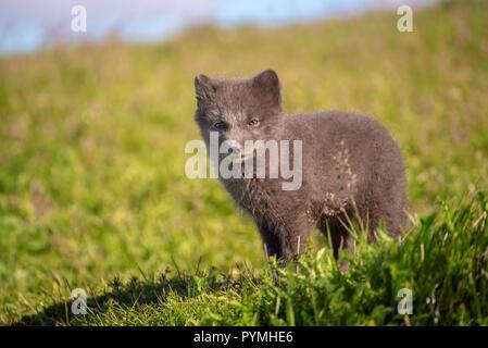 Arctic fox cub - Stock Photo