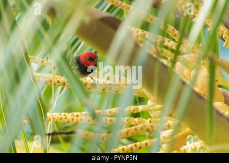 Crimson sunbird standing on palm tree branch, Banda Neira, Indonesia - Stock Photo