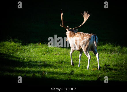 Fallow deer stag Dama dama in late summer sporting a fine set of spatulate antlers in preparation for the autumn rut - Ashton Court Bristol UK - Stock Photo
