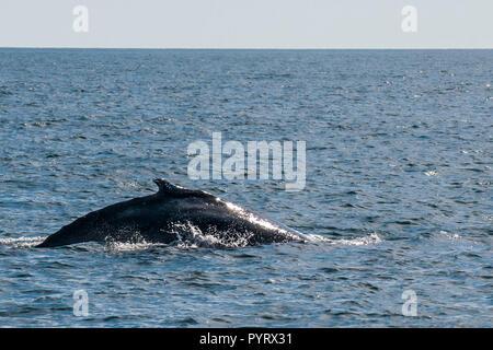 Humpback whale (Megaptera novaeangliae), Resurrection Bay, Kenai Fjords National Park, Alaska, USA. - Stock Photo