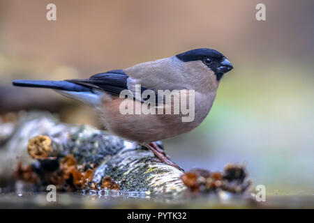 Female Eurasian bullfinch (Pyrrhula pyrrhula) perched on log and drinking water. This is a small passerine bird breeding across Europe and temperate A - Stock Photo