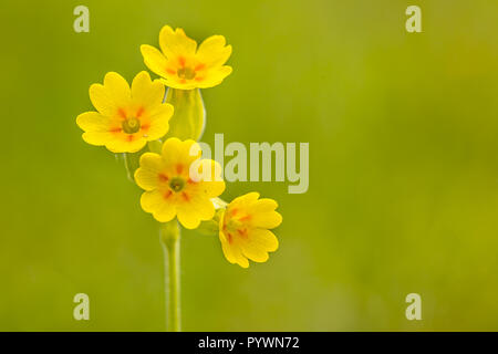 Yellow Cowslip (Primula veris) flowers in a calcareous grassland of a nature reserve in the Eifel, Germany. Frequently found on open ground like field - Stock Photo