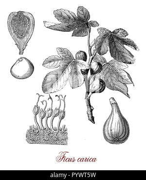 Vintage botanical engraving of common fig  important crop  native to the Middle East cultivated as food and as ornamental plant from antiquity - Stock Photo