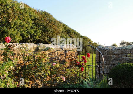 Rose bush by an iron gate in a stone wall - Stock Photo