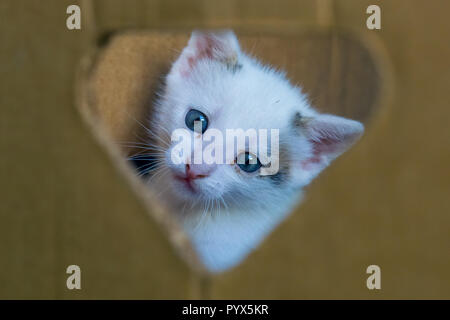 White little cat with blue eyes through the hole in the box - Stock Photo