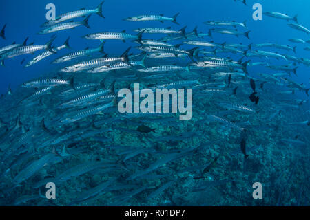A school of Blackfin barracuda swims over a deep coral reef in the Solomon Islands. This area is known for its extraordinary marine biodiversity. - Stock Photo