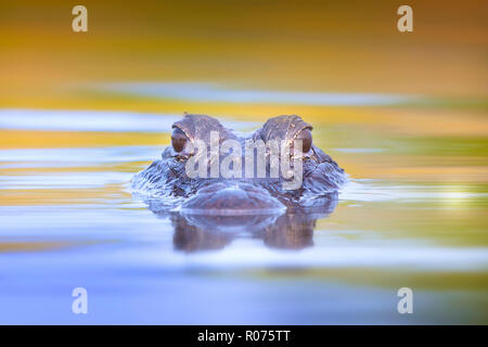 A juvenile American Alligator surfaces in the Florida Everglades. - Stock Photo