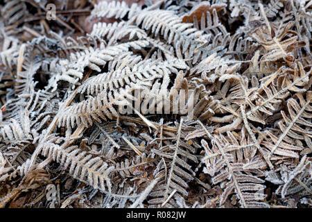 Frost on bracken in Hay Wood, near Baddesley Clinton, Warwickshire, UK - Stock Photo
