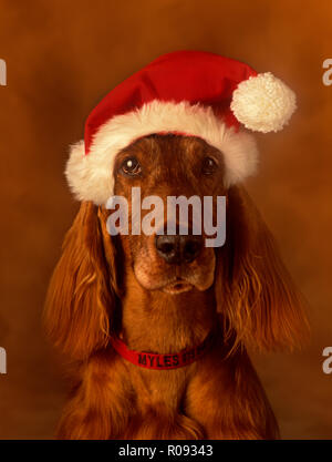 Irish Setter wearing a Santa hat against a very soft background looking straight at camera - Stock Photo