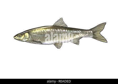 Digital illustration of freshwater fish, common nase - Stock Photo