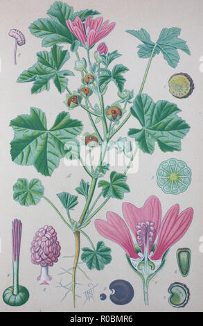 Digital improved high quality reproduction: Malva sylvestris is a species of the mallow genus Malva in the family of Malvaceae and is considered to be the type species for the genus. Known as common mallow to English-speaking Europeans, it acquired the common names of cheeses, high mallow and tall mallow - Stock Photo