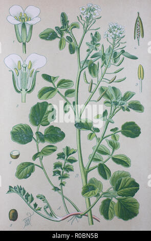 Digital improved high quality reproduction: Watercress or yellowcress is an aquatic plant species with the botanical name Nasturtium officinale - Stock Photo