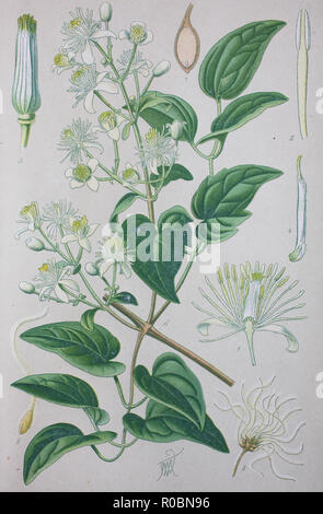 Digital improved high quality reproduction: Clematis vitalba, also known as old man's beard and traveller's joy, is a shrub of the Ranunculaceae family - Stock Photo