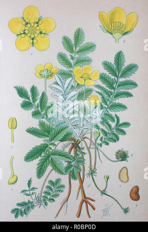 Digital improved high quality reproduction: Argentina anserina is a synonym of Potentilla anserina L., the accepted name of a perennial flowering plant in the rose family, Rosaceae. It is known by the common names silverweed, common silverweed or silver cinquefoil - Stock Photo