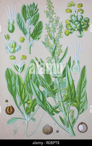 Digital improved high quality reproduction: Spinach, Spinacia oleracea, is an edible flowering plant in the family Amaranthaceae - Stock Photo