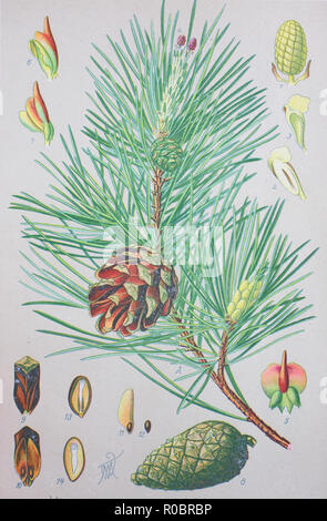 Digital improved high quality reproduction: Scots pine, Pinus sylvestris, is a species of pine that is native to Eurasia - Stock Photo